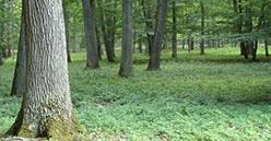 Les coopératives forestières offrent leurs chênes pour refaire la charpente Notre-Dame